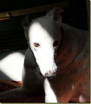 White Greyhound in a Black Shadow