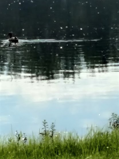 bad photo of duck making noise 7.23.18.jpg