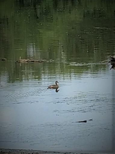 Miss. Duck 8.8.18.jpg